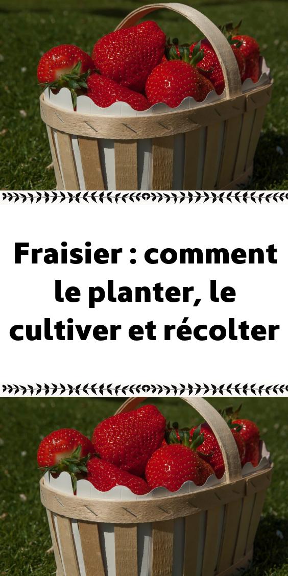 Fraisier : comment le planter, le cultiver et récolter ...