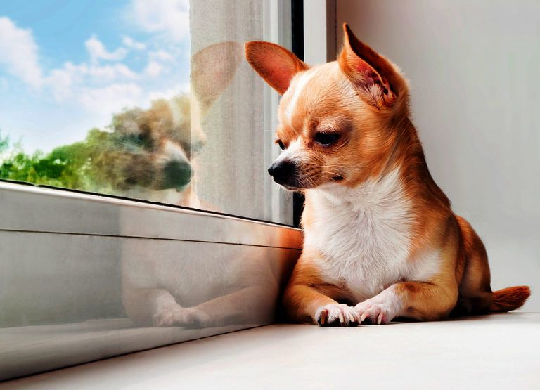 The Best Dogs Insurance In Malaysia Chihuahua Dogs Chihuahua