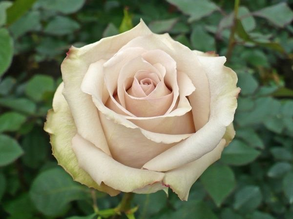This Is A Beautiful Natural Colored Rose That Opens Beautifully Quicksand Rose Google Search Rose Hybrid Tea Roses Rose Varieties