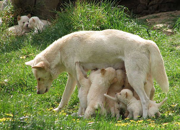 the female dingo Gives birth to litter of Between 1 and 10 pups. The pups are blind when They are first born but grow up Quickly, as dingo pups leave the den Their mother and when They are 8 weeks old