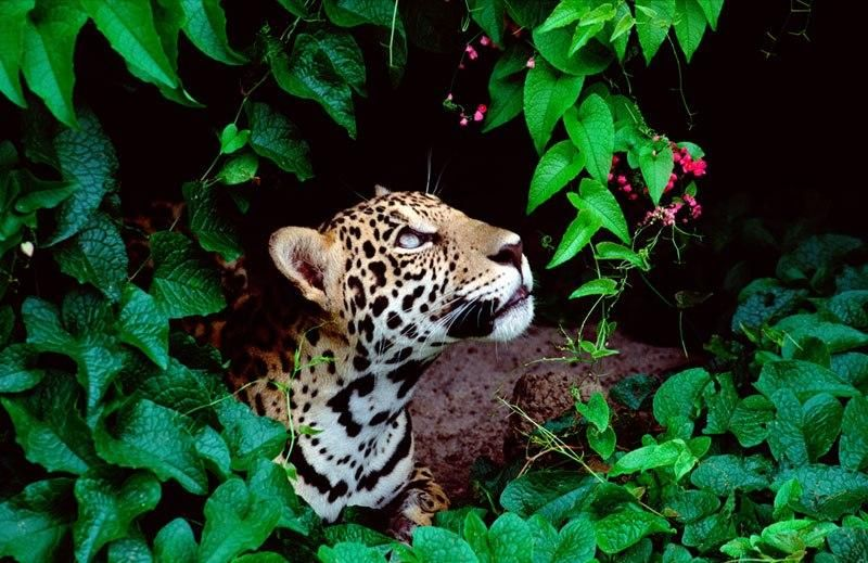 Jaguar, Brazilian Rain Forest - Pixdaus