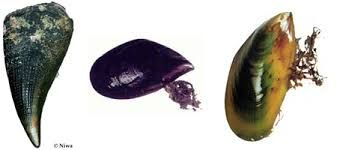 Image result for New Zealand Horse Mussel