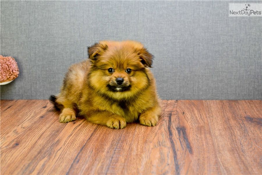 Pomeranian Puppy For Sale Near Columbus Ohio 036cd756 F9a1