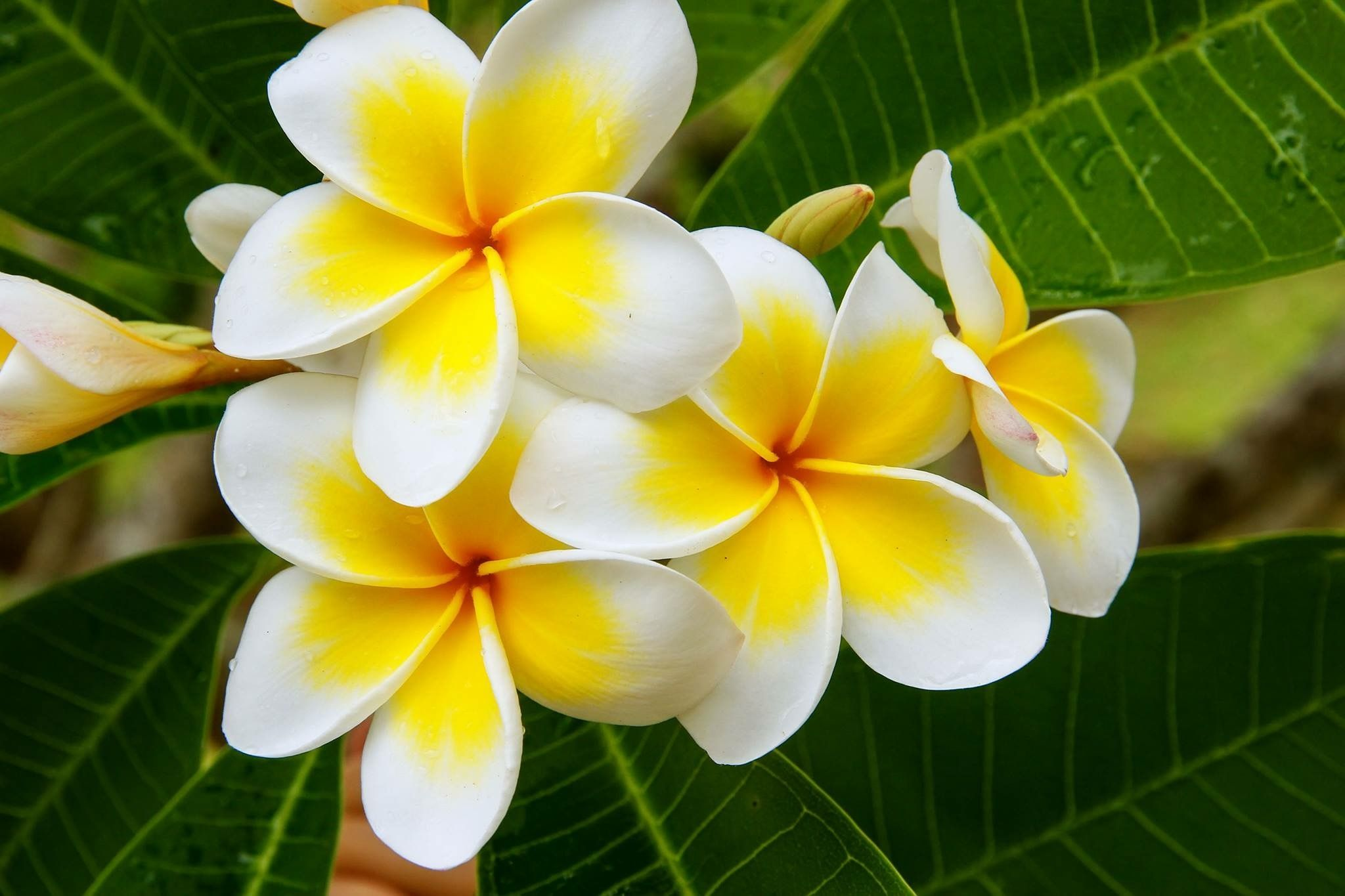 Pin By Sara Ragan On Jamaica Tropical Flower Plants Plumeria Perennial Herbs