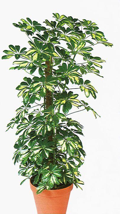 Schefflera Plant Leaves Schefflera Plants