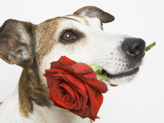 Dog With Rose Hd-800x600 | Cute dogs breeds, Pet birds, Cute dogs