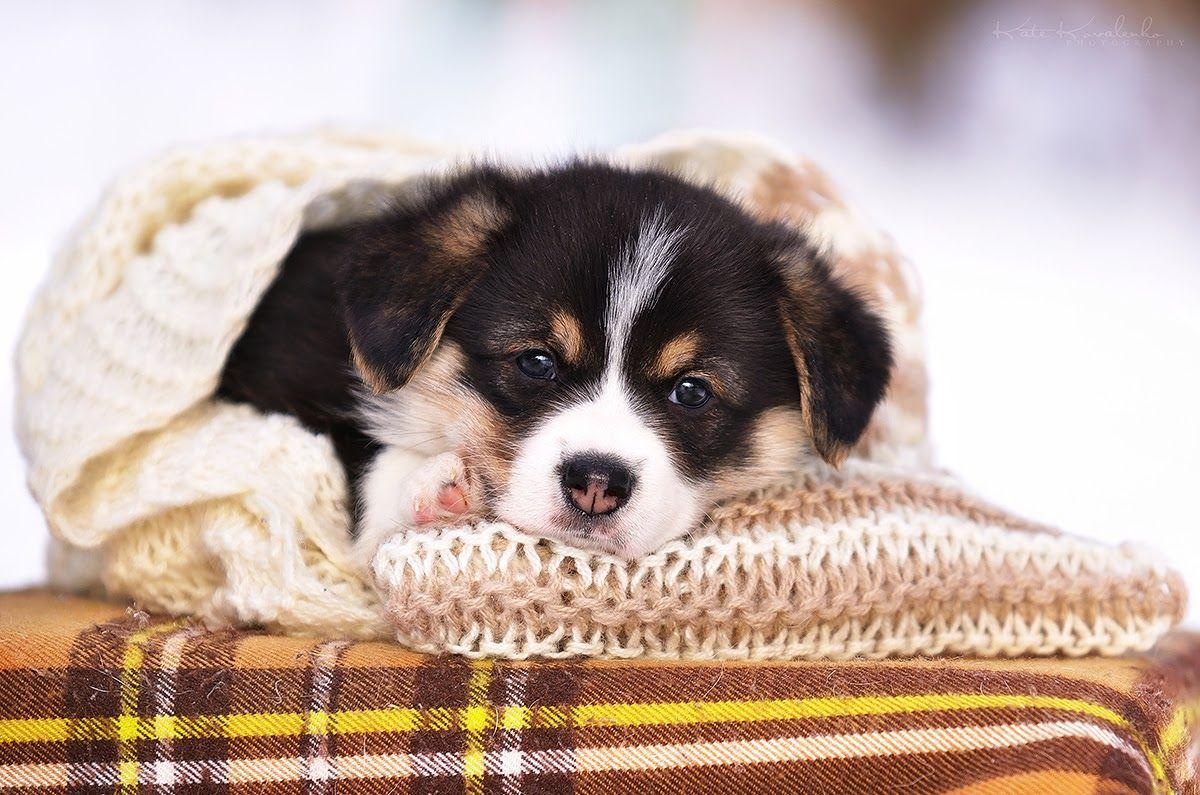 Edmund The Welsh Corgi Pembroke Pup Is Cute Lovely And Happy Baby Corgi Pembroke Welsh Corgi Corgi Pembroke