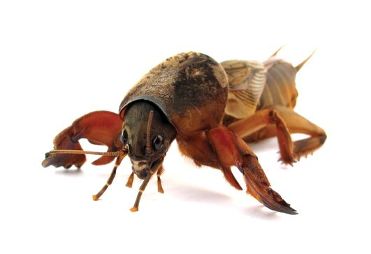 Mole Crickets: Tawny and southern mole crickets are the most damaging insect pests of warm