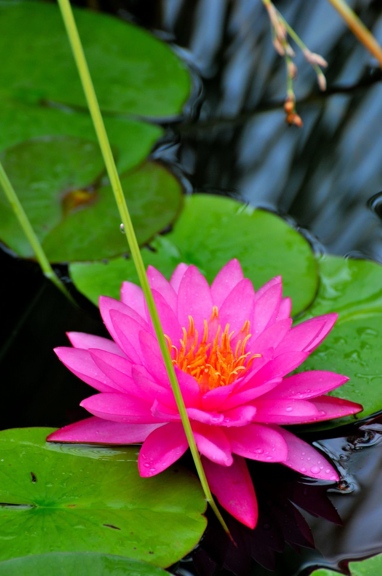 I need this color lily pad gardening pinterest lotus water i need this color lily pad izmirmasajfo