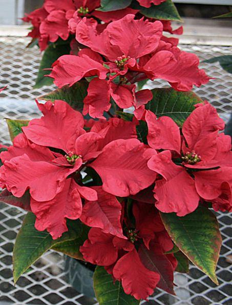 Poinsettia Varieties Amazing Flowers Wonderful Flowers Rose Plant Care