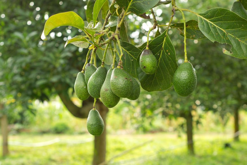 How To Pollinate An Avocado Tree Pictures Of Trees