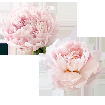 Beautiful Pink Peony Flowers, White Peony, Flowers, Small