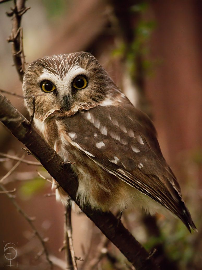 northern saw whet owl ...