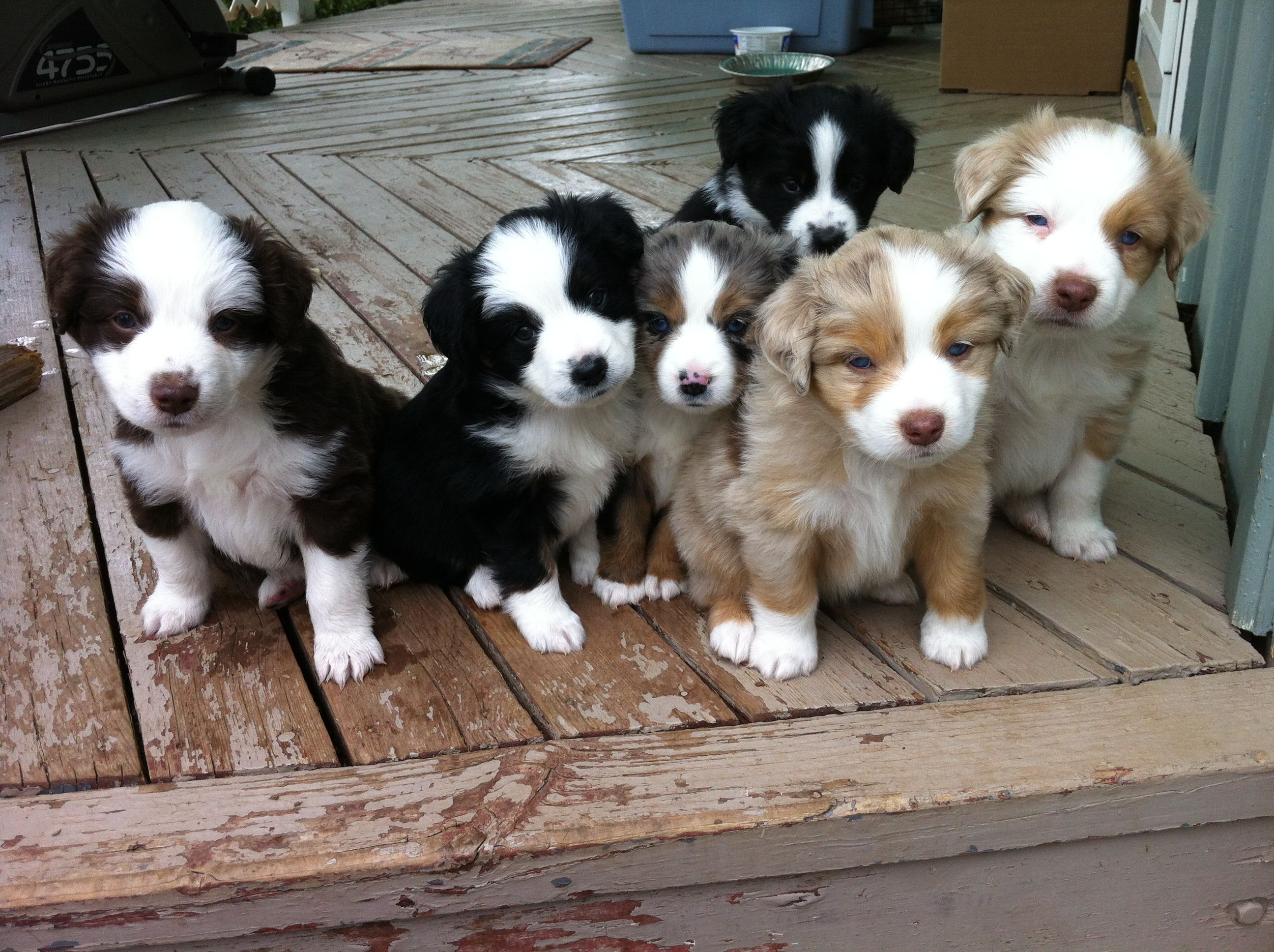 Sunshiny Mini Aussie Pups Y Are Most Most Loyal Dogs Y Are Most Loyal Dogs India Most Loyal Dogs Wiki Mini Aussie Pups