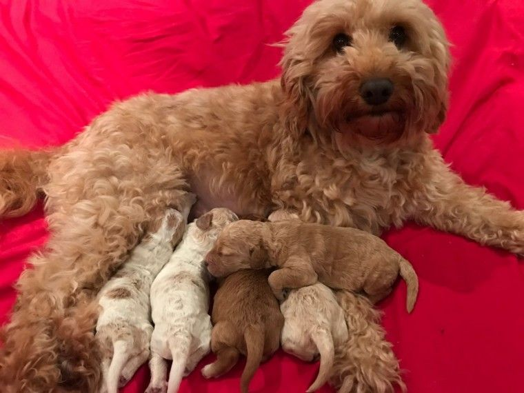 Sold Exceptional F2b Cockapoo Puppies Basingstoke Hampshire Pets4homes Cockapoo Puppies Cockapoo Puppies