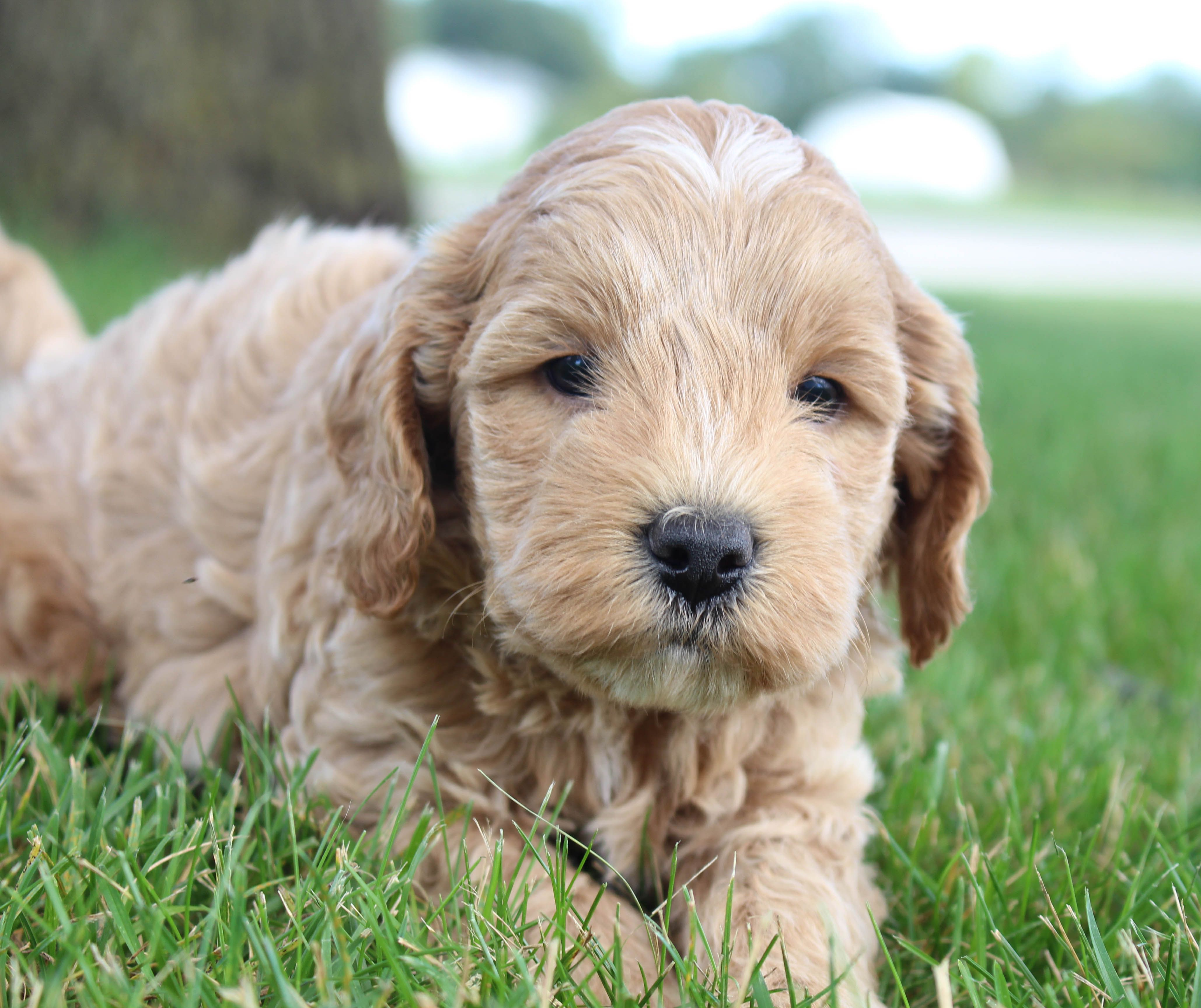 Carr AKC Cavapoo puppy for sale in Shipshewana, Indiana
