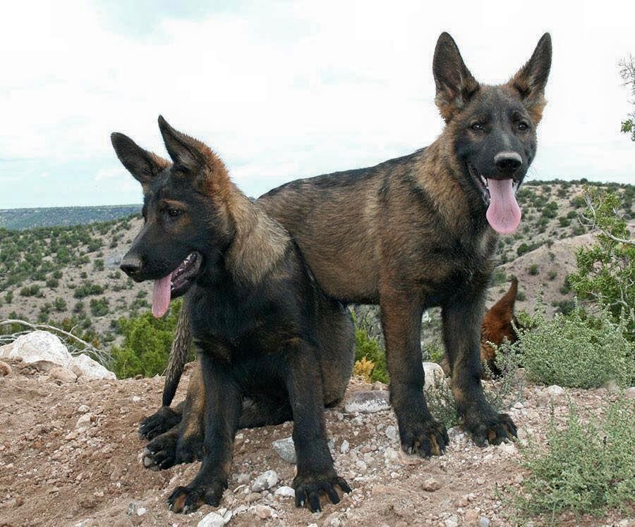 Sable Shepherds look like little wolf pups Shepherd