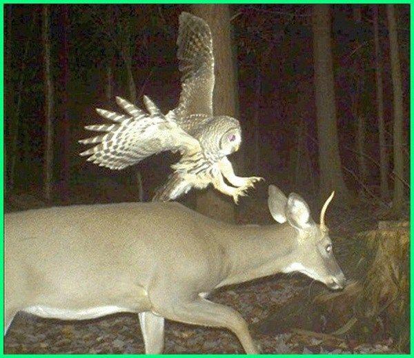 Burung Hantu Makan Rusa Apa Saja Makanan Burung Hantu Ciri Khusus Jenis Untuk Apakah Dilindungi Minum Berbahaya Makan Pertanda Masuk Burung Hantu Burung Hantu