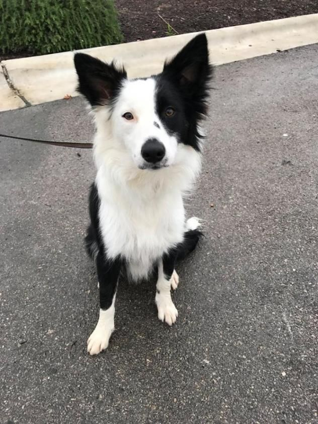 Adopt Murphy On Border Collie Collie Dog Collie Rescue