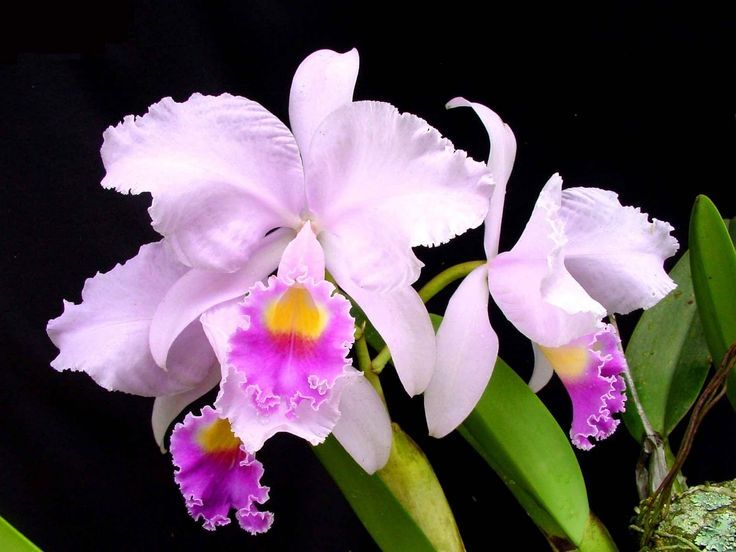 Colombian Flower Tattoo Colombia Christmans Orchid May Flower Orchids Cattleya Flowers