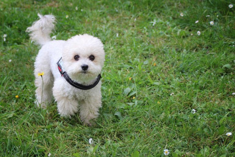 Kleine Hunderassen Mit Bildern Hunde Rassen Hunderassen Hunde
