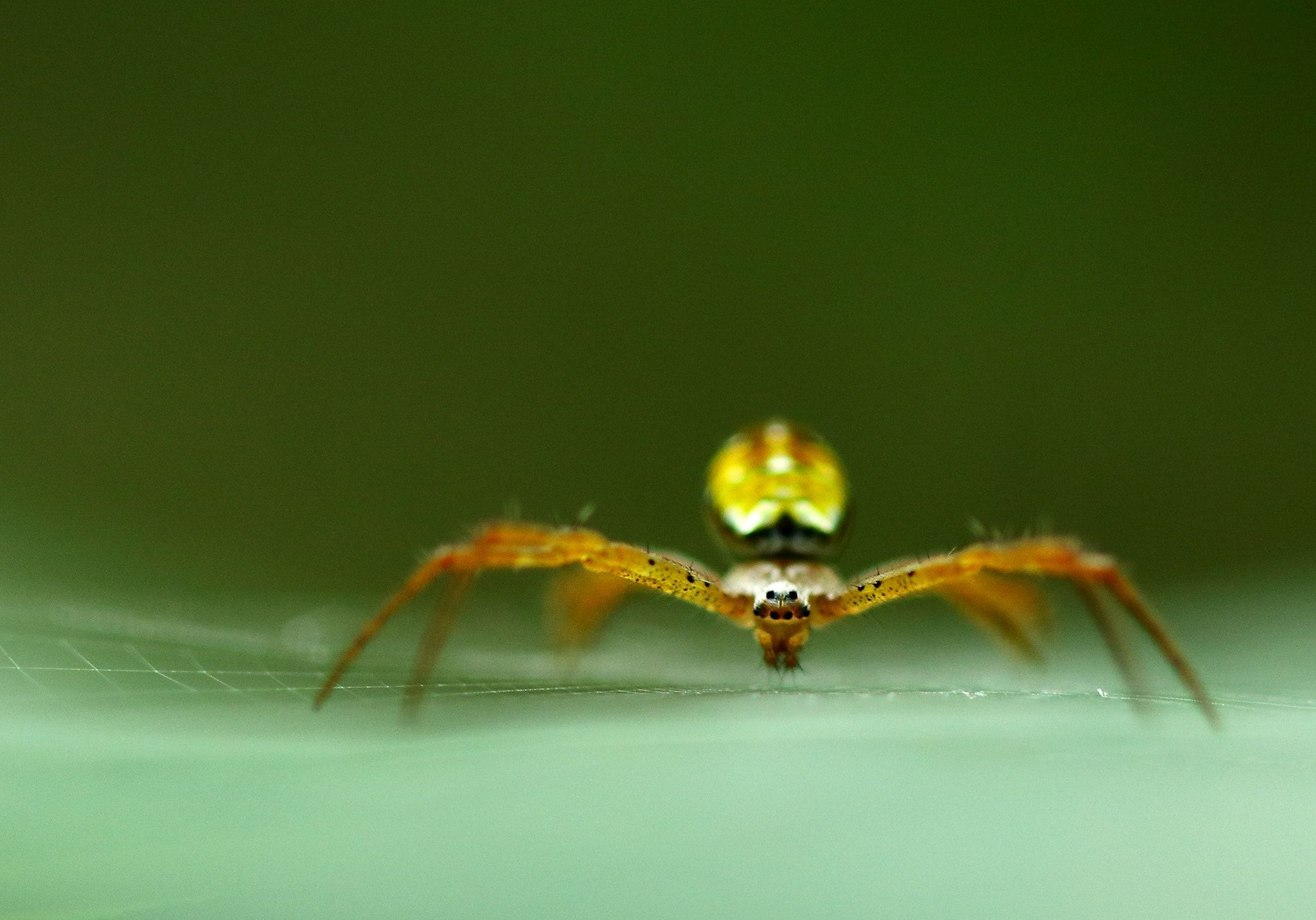 Look at me.... - A multicolored St.Andrews Cross Spider. Shot at Sungei Buloh Wetlands Reserve (Singapore).
