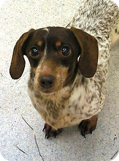 Spokane Wa Dachshund Mix Meet Lulu A Dog For Adoption