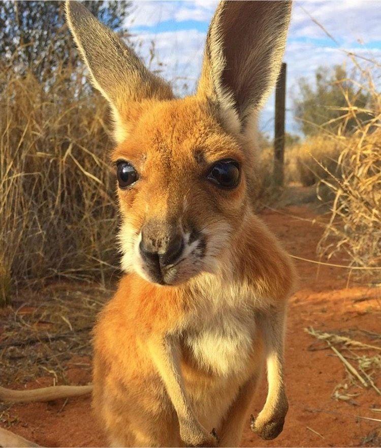 So cute Australian native animals, Animals, Cute animals
