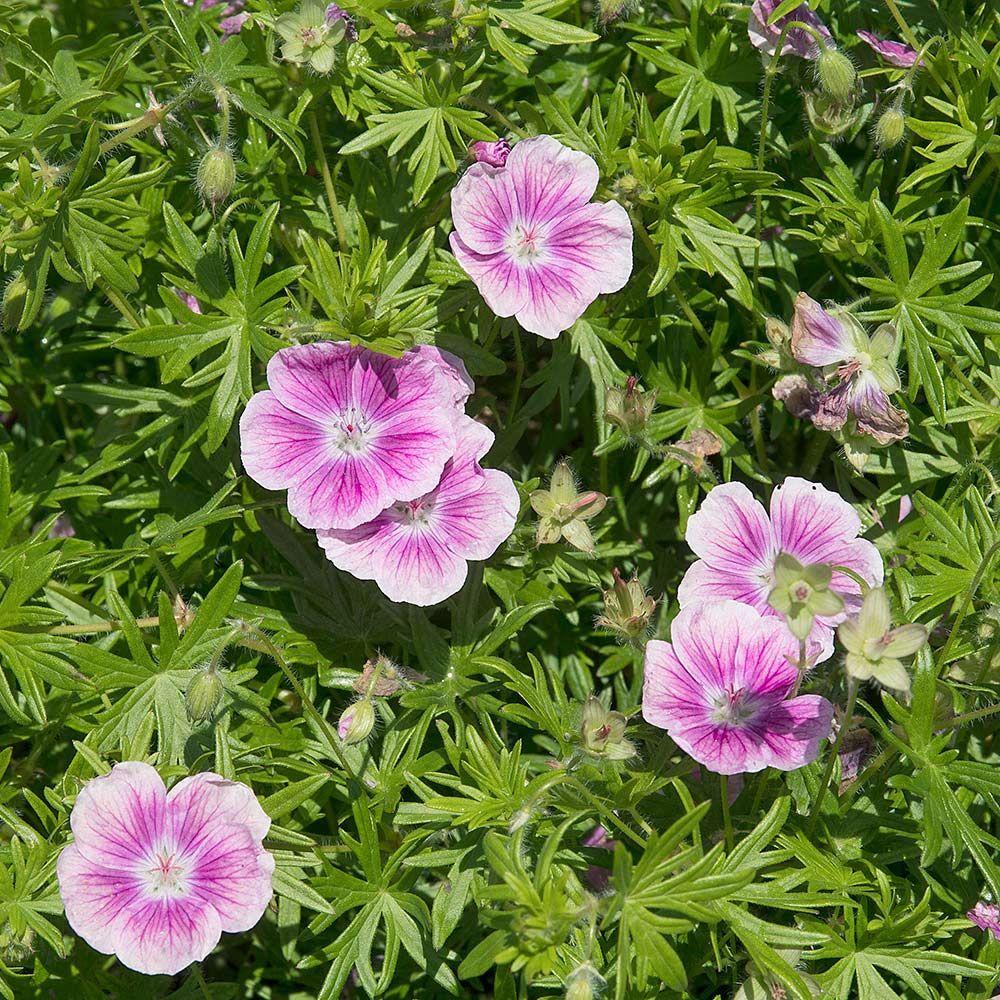 Geranium sanguineum 'Elke' Geranium sanguineum, White