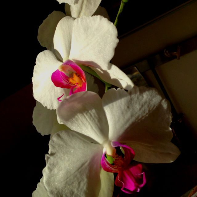 Our blooming orchid