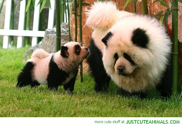 Panda Chow Chow Panda Dog Panda Chow Chow Cute Animals