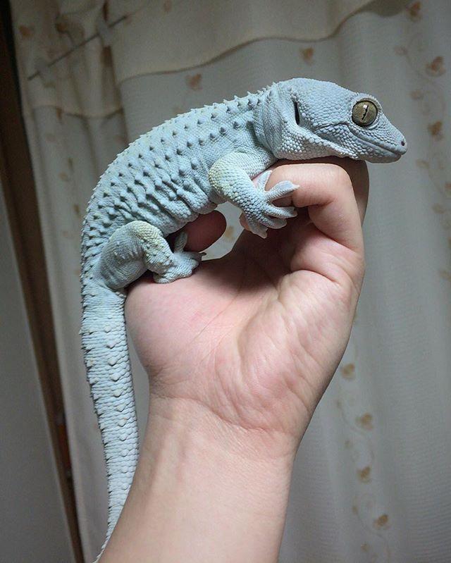 tokay #tokaygecko #animal #gecko #geckos #reptile #day thanks follow ...