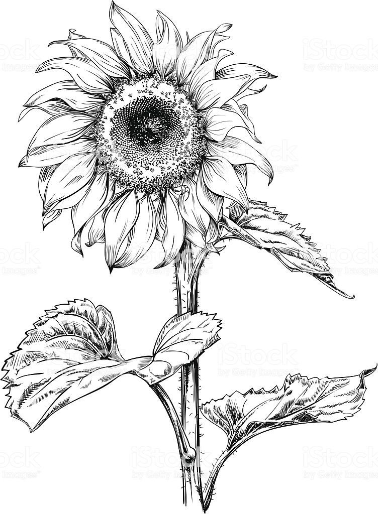 How To Draw A Sunflower Easy Step By Step Drawing Guides In 2020 Sunflower Drawing Sunflower Sketches Sunflower Illustration