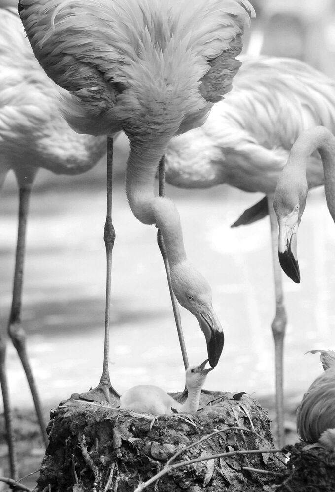 #birds #baby #family #love #animals #photography #black and white #bw #bw
