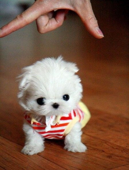Very Small Very Cute Miniature Dog Breeds Miniature Dogs