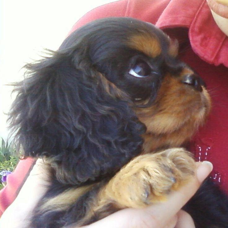 Pin By Ni Claydon On Spaniel Joy King Charles Cavalier Spaniel Puppy Cavalier King Charles Dog King Charles Dog