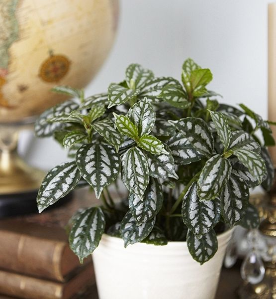 guide to easy, indoor plants...The Entryway    Pilea Cadieri (Common Name: Aluminum Plant)    Happiest in light humidity, this easy-growing plant, known for it's silver striped leaves, is a friendly, welcoming sight.