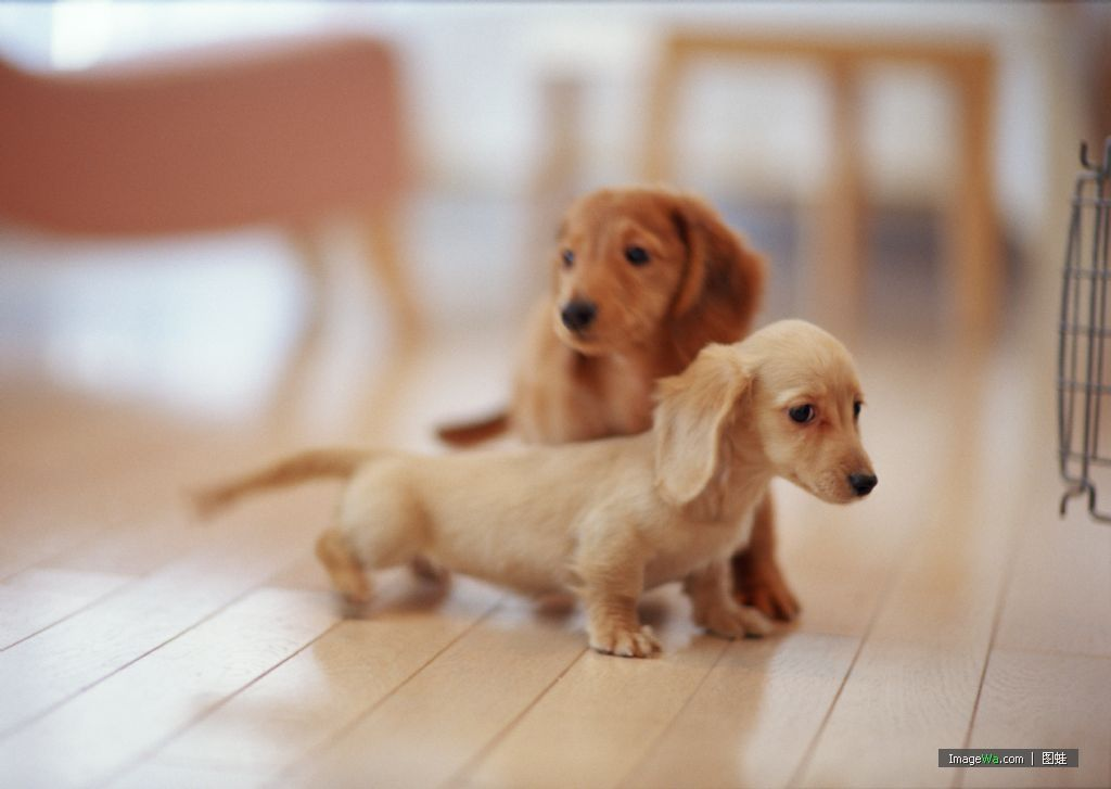 Newborn Dachshund Puppies Google Search With Images