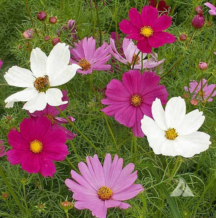Cosmo Sensation 4 Feet This Bushy Mixture Displays 2 Inch Blooms Of Rose Crimson White And Pink Package Contains Cosmos Flowers Flower Seeds Cosmos Plant