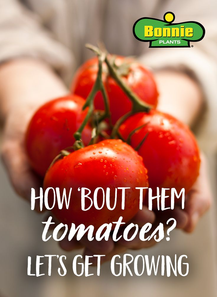 Find Out Where To Buy Bonnie Tomato Plants That You Can 640 x 480