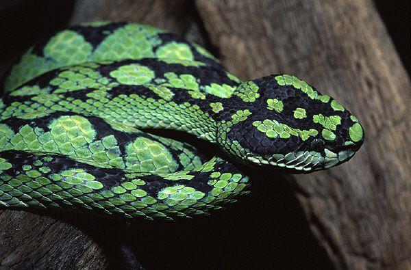 Coolest Looking Venomous Snakes Snake Snake Venom Viper Snake