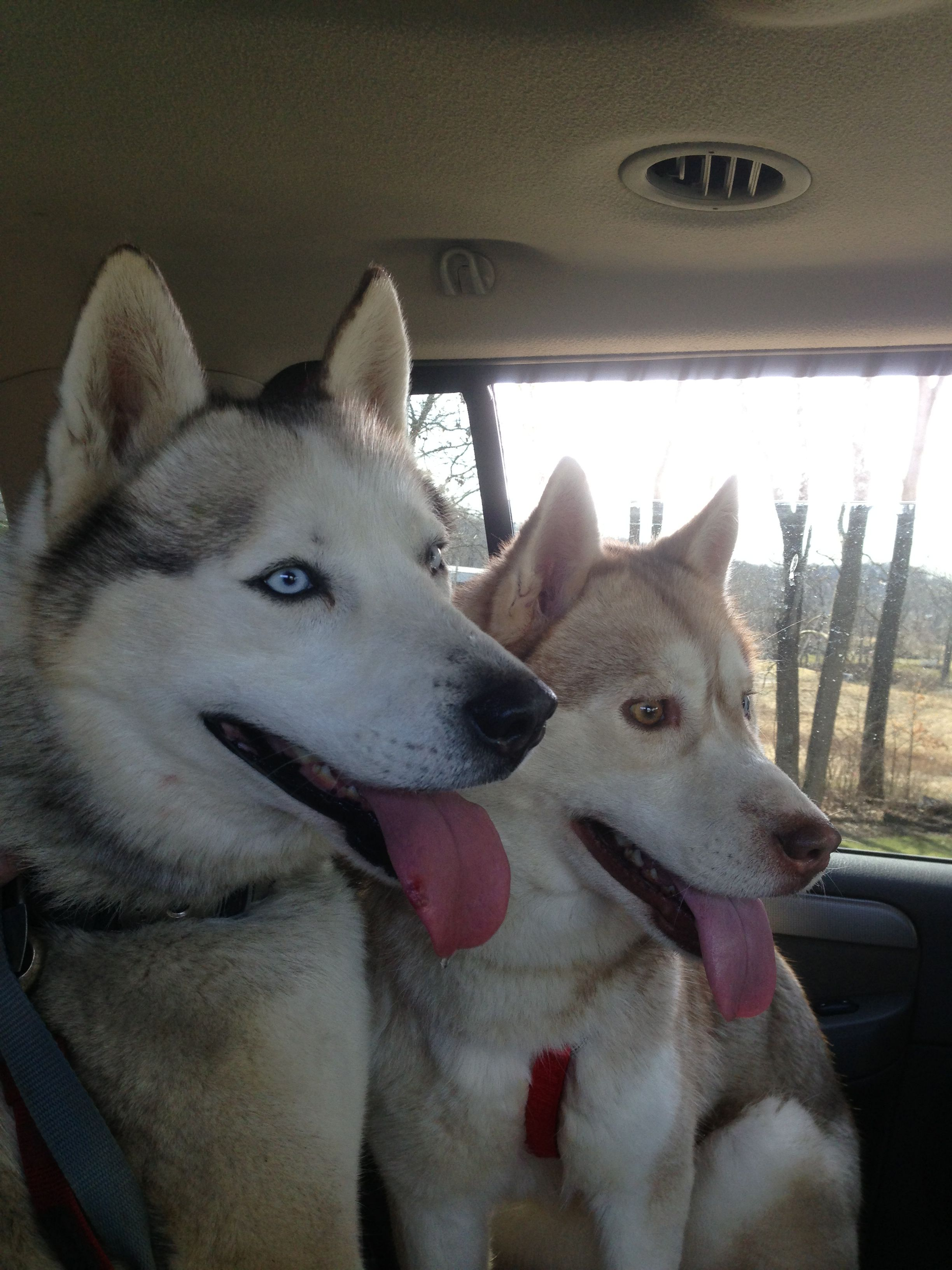 Huck Our Stud And Grey Siberian Husky With Scarlet Our Red