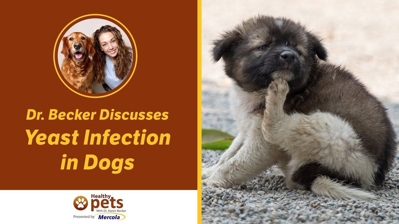 Dr. Becker Discusses Yeast Infection in Dogs Dog yeast