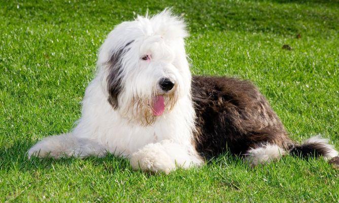 Bobtail Antiguo Perro Pastor Ingles Con Imagenes Perros