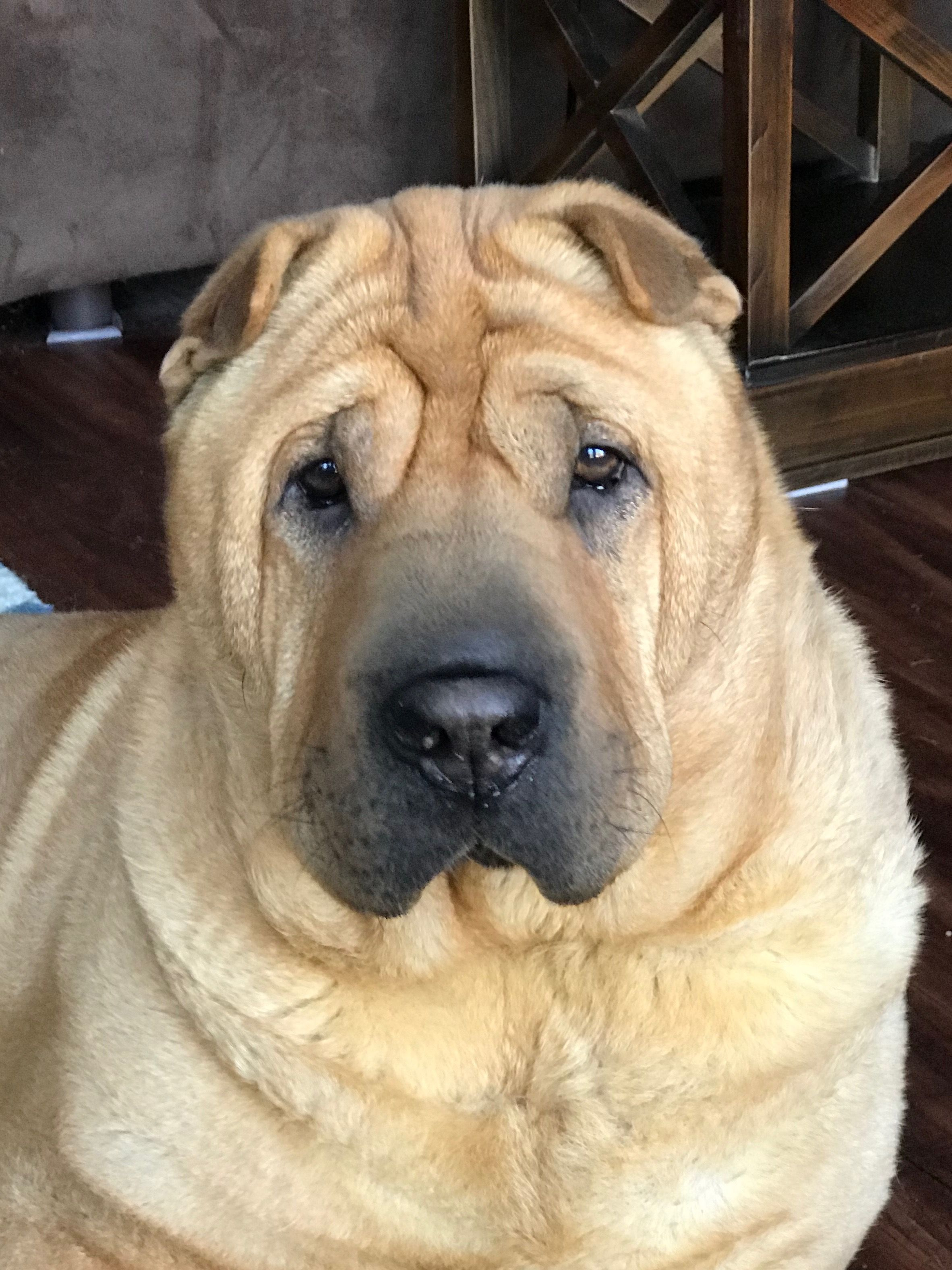 Beautiful Mei Mei Dog Language Shar Pei Dogs