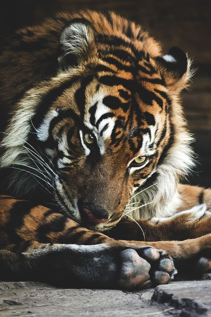 Tiger With Images Pet Tiger Wild Cats Animals Wild