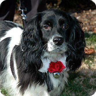 Sacramento Ca Cocker Spaniel Cavalier King Charles Spaniel Mix Meet Barry A Dog For Adoption Cocker Spaniel Spaniel Cocker Spaniel Mix