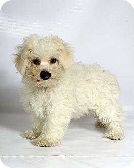 St Louis Mo Bichon Frise Meet Harry Bichon A Puppy For