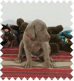 Weimaraner Akc Puppies Champion Pedigree Show Potential Puppies