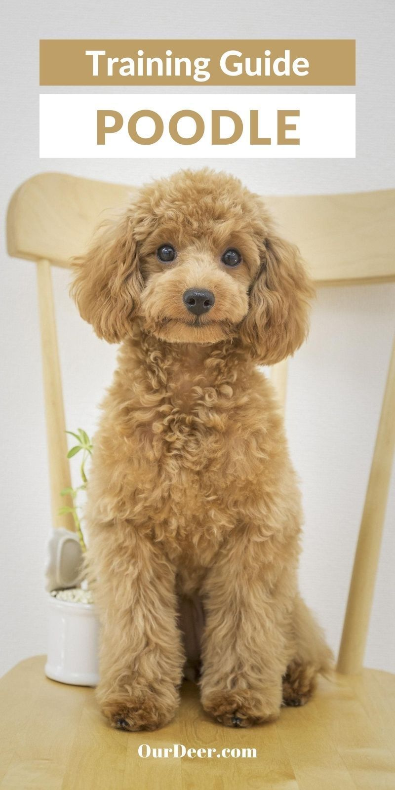 Poodles are considered among the most intelligent and easily trained of all dogs. #Poodle #PoodlePuppies #breedoverview #PoodlePuppy #PoodleTraining #PoodleHealth